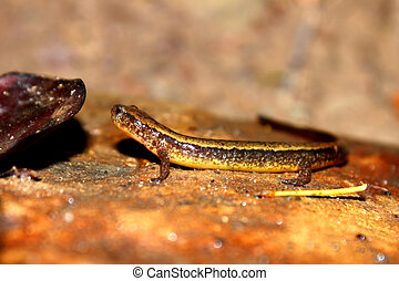 Southern Two-lined Salamander Indiana