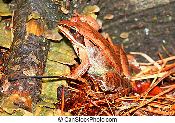 Wood Frog Rana sylvatica Wisconsin - Wood Frog Rana...