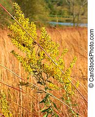 Goldenrod Flower Kettle Moraine Wisconsin - Goldenrod flower...
