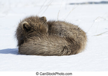 Commanders blue arctic fox that sleeps curled up in the snow...