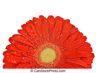 Dewy gerbera flower isolated on white background