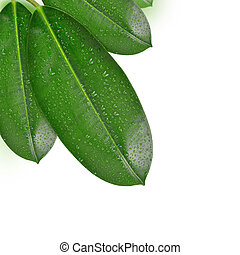 Dewy Ficus leaves isolated on white background