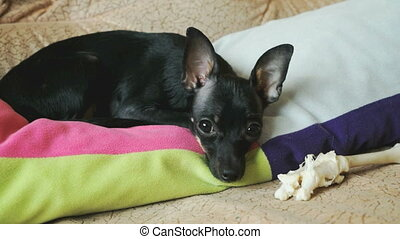 Dog toy-terrier is lying on the couch and guards his chicken bone