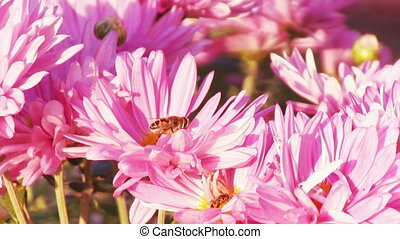 Pink Chrysanthemum Flower - Flower fly on a flower pink...