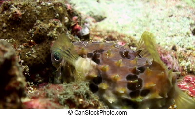 Puffer fish pouted and then blown away Sea Life - Puffer...