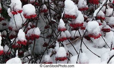 Snowy Bunches Of Red Rowan - snowy bunches of red rowan