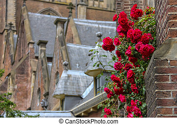 Twine red roses on the facade of old church in Haarlem, the Netherlands