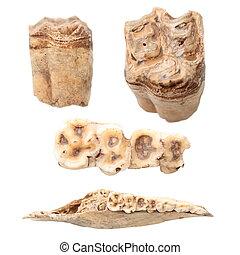 animal teeth and mandible over white - animal teeth and...