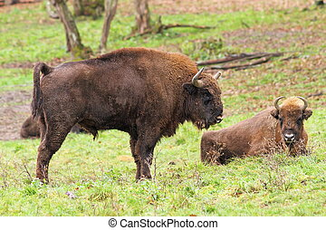 big european bison Bison bonasus in large enclosure