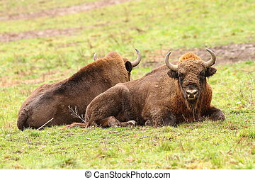 european bisons on green lawn - european bisons sitting on...
