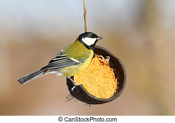 great tit on coconut lard feeder in wintertime ( Parus major...