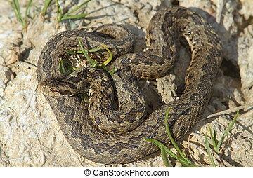 macho, pradera, víbora, en, natural, habitat,
