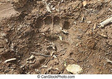 wild brown bear footprint in mud - wild european brown bear...