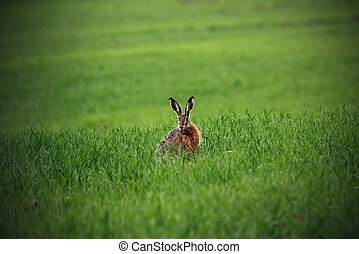 wild hare in green field - wild european brown hare standing...
