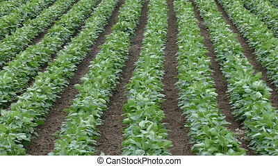 Soybean field, panning footage - Agriculture, green...
