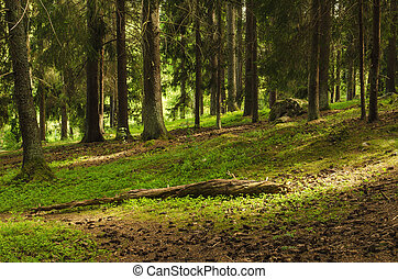 North scandinavian forest - North scandinavian pine forest...