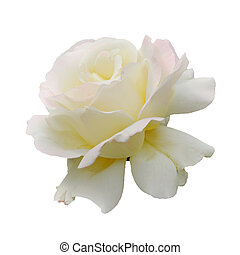 White rose isolated - White beautiful rose blossoming...