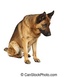 german shepard portrait - german shepard dog portrait on...
