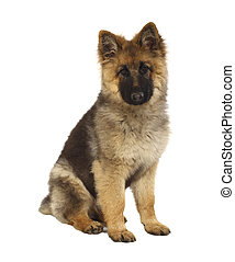 puppy of german shepard dog portrait on white background