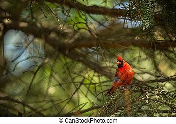 Northern cardinal Cardinalis cardinals