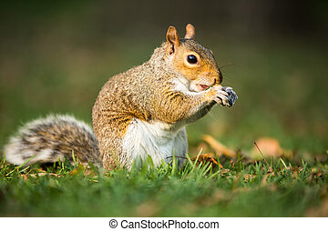 Eastern Grey Squirrel Sciurus carolinensis