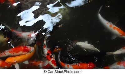 Colorful Koi fish swim in pond