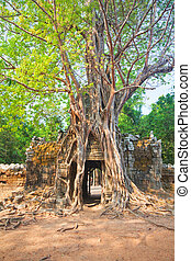 Tropical tree on Ta Som, Angkor wat in Siem Reap,Cambodia