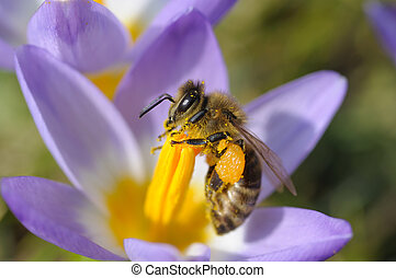 Bee collecting nectar on purple crocus flower