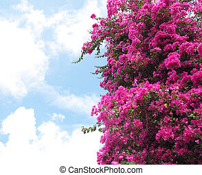 Pink Bougainvillea flower over clear blue sky