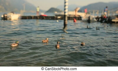 Ducks Swim at the Lake Como Background of Pier