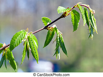 Spring twig of hornbeam with green leaf close-up