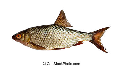 European roach - freshwater fish isolated on white
