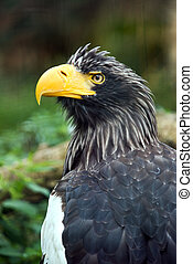 Stellers sea eagle - A closeup of the head of a Stellers sea...