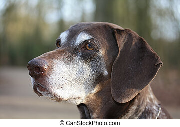 german shorthaired pointer - A portrait of a german...