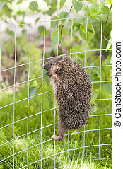 Hedgehog is climbing ona metal fence