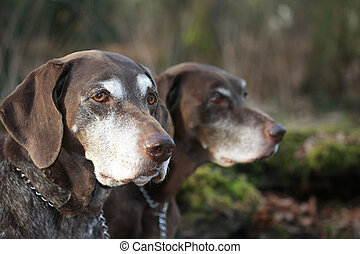 german shorthaired pointer sisters - two senior german...