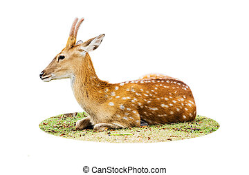 Deer isolated on white background.