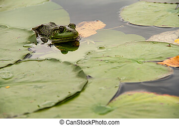 A frog hiding in the lilypads - Frog awaiting in some...