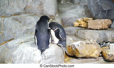 Rockhopper penguins - Rockhopper penguin Medium shot from...