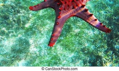 Starfish on the sandy bottom. - Red starfish slowly sinks to...
