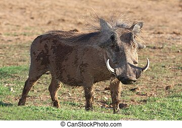 Warthog - Hairy warthog with large cuved tusks eating grass