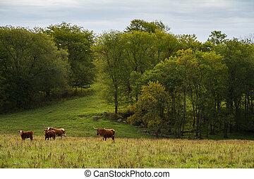 Tejas, longhorn, ganado,