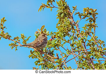 Bird Corn Bunting is Sitting on the Branch