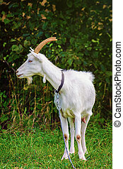 Goat on the Leash - Nanny Goat on the Leash