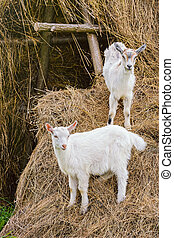 Two White Goatlings on a Haystack