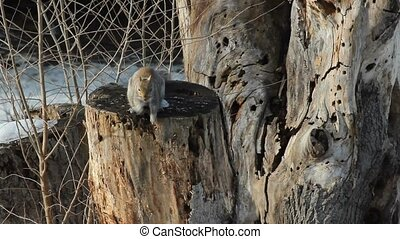 Eastern Gray Squirrel - A gray squirrel chewing on the bark...