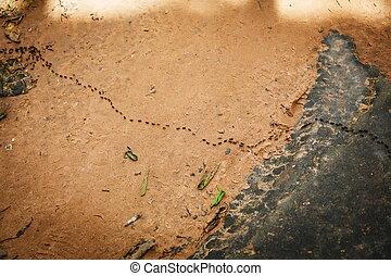 enxame, formigas, marchar