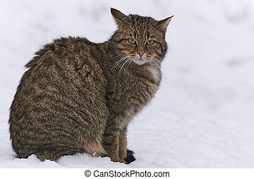 Wildcat in snow - A european wildcat in snow