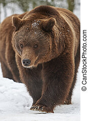 marrón, osos, en, nieve,