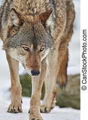 Wolf in winter - a canadian timberwolf in winter